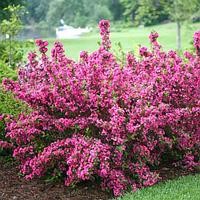 Вейгела Пинк Принцесс (Weigela florida Pink Princess)
